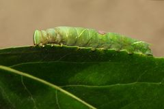 Bild av den gröna larven på gröna sidor kryp angus royaltyfri fotografi