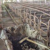 bild av den inomhus smutsiga svinfarmen med paddocken Arkivfoton