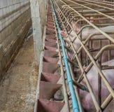 bild av den inomhus smutsiga svinfarmen med paddocken Royaltyfri Fotografi