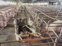 bild av den inomhus smutsiga svinfarmen med paddocken Royaltyfria Foton