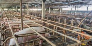bild av den inomhus smutsiga svinfarmen med paddocken Arkivbilder