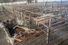 bild av den inomhus smutsiga svinfarmen med paddocken Fotografering för Bildbyråer