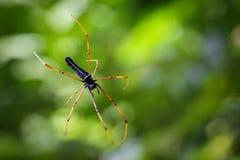 Bild av den svarta Orb-vävare spindeln arkivfoton