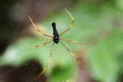 Bild av den svarta Orb-vävare spindeln arkivbild