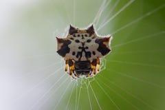 Bild av den svartvita Sspiny Spidergasteracantha kuhliien arkivfoto
