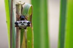 Bild av den svartvita Sspiny Spidergasteracantha kuhliien royaltyfri bild