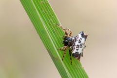 Bild av den svartvita Sspiny Spidergasteracantha kuhliien fotografering för bildbyråer