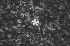 Bild av den vita blomman i svart buske arkivbild