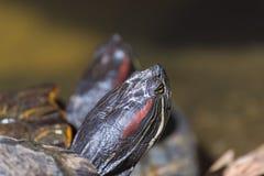 bild av dengå i ax glidaresköldpaddan royaltyfri bild