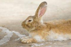 Bild av en brun kanin arkivbild