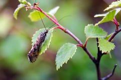 Bild av en Caddis fluga Polycentropodidae som vilar på ett björkblad i Glen Affric arkivbild