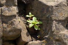 Bild av en grön växt mot en bakgrund av stenar royaltyfria bilder