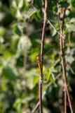 Bild av en gul sländabenägenhet mot en filial Royaltyfria Bilder