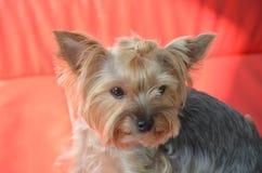 Bild av en härlig rashundavel Yorkshire Terrier Royaltyfria Bilder