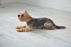 Bild av en härlig rashundavel Yorkshire Terrier Arkivfoto