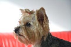 Bild av en härlig rashundavel Yorkshire Terrier Royaltyfri Fotografi