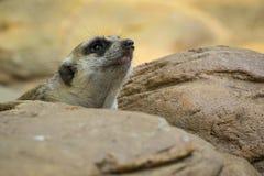 Bild av en meerkat eller en suricate på naturbakgrund Fotografering för Bildbyråer