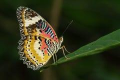 Bild av en slätt Tiger Butterfly på gröna sidor Krypdjur arkivfoto