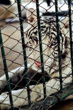 Bild av en vit tiger i buren wild djur Royaltyfri Bild