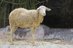 Bild av ett brunt får på naturbakgrund Arkivbild