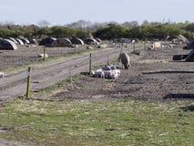 Bild av fältsvin med deras skydd Royaltyfria Foton
