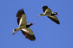 Bild av fågelflyget i himlen wild djur Arkivbild