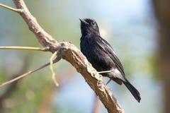 Bild av fåglar som sätta sig på filialen wild djur Pied Bushcha Arkivfoton
