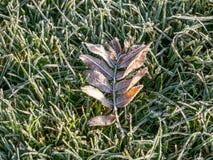 Bild av första morgonfrost på sidor på grön äng fotografering för bildbyråer