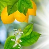 Bild av filialer med citroner mot solen Arkivbilder