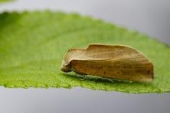 Bild av fjärilen & x28; Moth& x29; på gröna sidor kryp Royaltyfria Foton