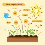 Bild av fotosyntes Royaltyfri Bild