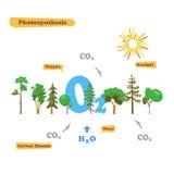 Bild av fotosyntes Arkivfoton