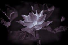Bild av gammal lotusblomma Arkivfoto