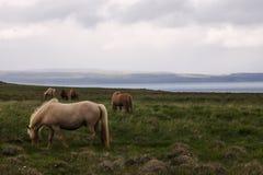 Bild av isländska hästar royaltyfri foto