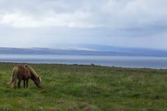 Bild av isländska hästar arkivfoto
