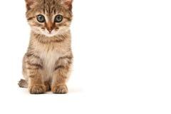 Bild av kattungen som isoleras på vit Royaltyfri Fotografi