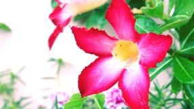 Bild av ljus - rosa blommabakgrund/romantisk blommadesign Royaltyfri Foto