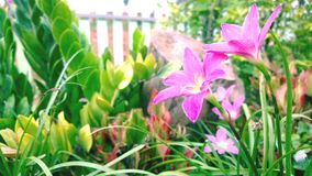 Bild av ljus - rosa blommabakgrund/romantisk blommadesign Arkivbilder