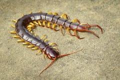 Bild av m?ngfotingar eller chilopodaen p? jordningen angus Giftiga djur royaltyfri fotografi