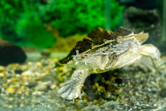 Bild av sötvattens- exotiska sköldpaddor Matamata Arkivfoto