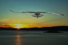 Bild av seagullen på soluppgång/soluppgång royaltyfri foto