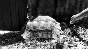 Bild av sköldpaddan som döljas på hennes skal royaltyfria foton