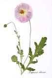 Bild av torkade blommor som undertecknas i latin Royaltyfri Bild