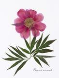 Bild av torkade blommor som undertecknas i latin Arkivfoto