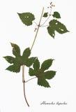 Bild av torkade blommor som undertecknas i latin Arkivbild