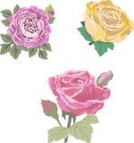 Bild av tre vektorrosor royaltyfria bilder