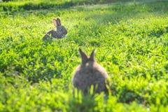 Bild av två gråa kaniner i outdoo för grönt gräs arkivfoto