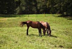 Bild av två hästar sto och föl som spelar i ängen Kastanjebruna fullblods- hästar Arkivbild