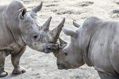 Bild av två noshörningar i vänlig form royaltyfri foto