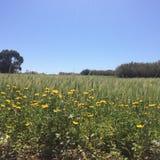 Bild av wilddaisies och vetefältet royaltyfri bild